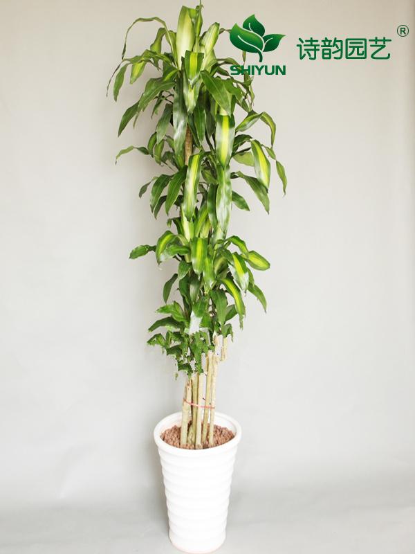 巴西铁树干粗壮,叶片剑形,碧绿油光,生机盎然,被誉为观叶植物的新星,是颇为流行的室内大型盆栽花木,尤其在较宽阔的客厅、书房、起居室内摆放,格调高雅、质朴,并带有南国情调。是一种株形优美、规整、世界著名的新一代室内观叶植物。 巴西铁及其同属诸多品种,因其特别耐阴,故均为室内高档观叶植物,在高温多湿、阳光充足的条件下都会旺盛地生长,有利于经营者快速繁栽培时,取用新茎扦插,全年均可繁殖。工厂化生产所需幼苗可采用组织培养法获得。一般家庭栽培时,可取用盆栽植株的成熟茎剪切成段,下部埋于珍珠岩、蛭石、煤渣基质中,很